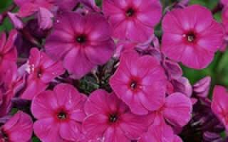 Флокс younique old purple