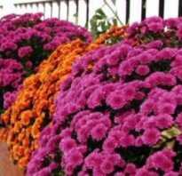Цветы которые цветут до поздней осени фото
