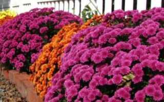 Осенние цветы фиолетовые фото с названиями