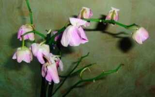 Почему не раскрываются бутоны у орхидеи