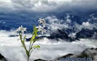 Эдельвейс цветок где растет в россии