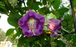 КОБЕЯ: выращивание из семян в домашних условиях! Посадка и уход!