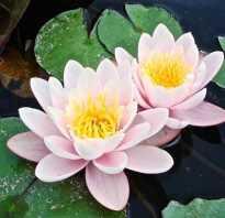Хранение водяных лилий зимой