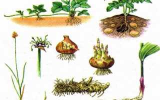 Схема вегетативного размножения растений