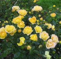 Полиантовая роза из семян в домашних условиях