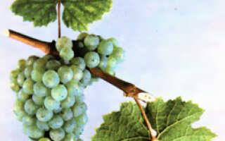 Рислинг сорт винограда характеристика