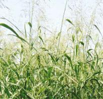 Урожайность суданки с 1 га на сено