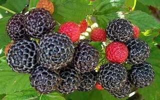 Плоды похожие на малину