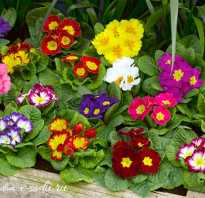 Цветы растущие в полутени и тени многолетники