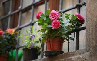 Чайная роза уход в домашних условиях фото