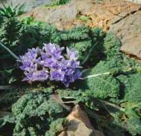 Растение мандрагора фото где растет