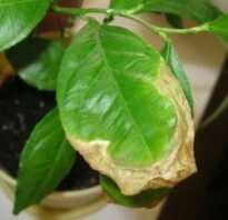 Сохнут листья у лимона что делать