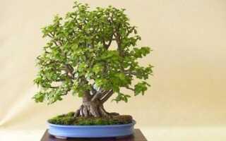 Денежное дерево как сформировать красивую крону