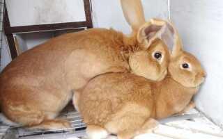 Как спариваются кролики видео смотреть