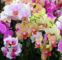 Орхидеи дочери воздуха группа