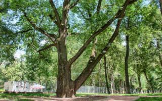 Лиственные породы деревьев россии