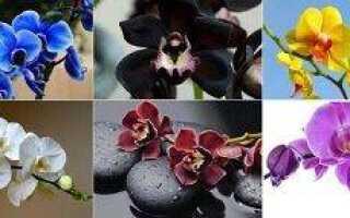 Расцветки орхидей фаленопсис фото