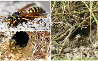 Как уничтожить осиное гнездо в земле