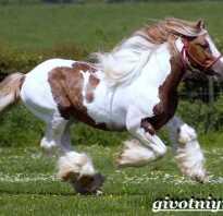 Порода лошадей шайр фото