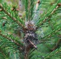Опрыскивание хвойных деревьев весной