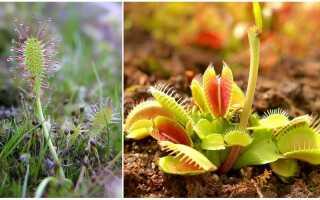 Как называется цветок который ловит мух