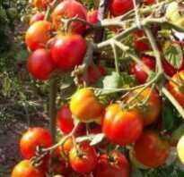 Сорт томатов альфа отзывы фото
