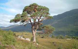 Корневая система хвойных деревьев