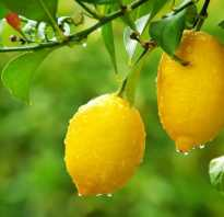 Сколько растет лимон в домашних условиях