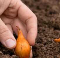 После чего сажать лук в открытый грунт