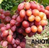 Сорт винограда анюта фото