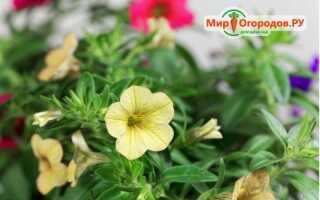 Калибрахоа выращивание и уход в зиму