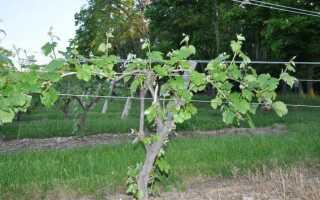 Как подвязывать виноград весной видео