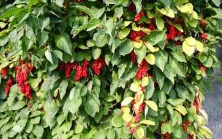 Как сохранить ягоды лимонника на зиму
