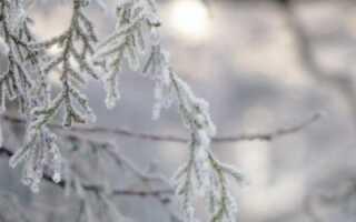 Как правильно укрывать тую на зиму