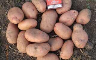 Картофель славянка описание сорта фото отзывы