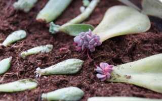 Как размножить суккулент листом