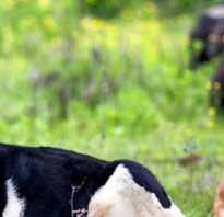 Почему корова не покрывается что делать