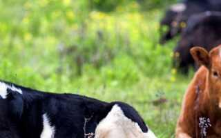 Корова не гуляет что делать