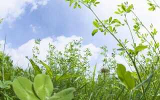 Лечебные травы в огороде