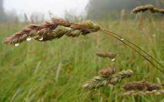 Трава петушок или курочка