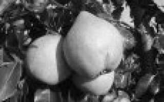 Лучшие сорта груши для ростовской области