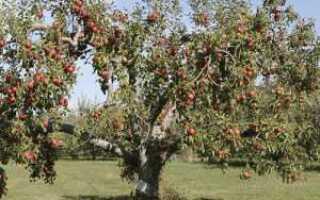 Начало сокодвижения у яблони