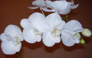 Орхидея белая уход в домашних условиях