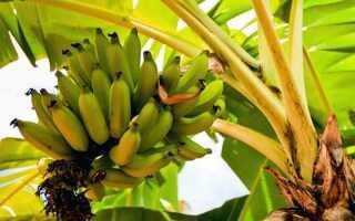Как посадить банан в домашних условиях видео