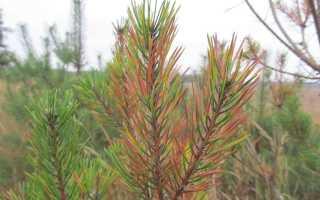 Какие хвойные деревья желтеют осенью
