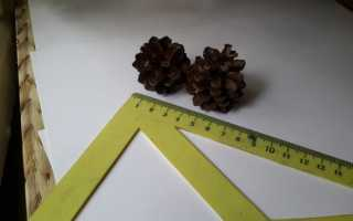 Семена в шишках сосны обыкновенной созревают через