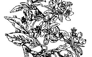 Яблоня цветковое растение или нет
