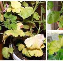 Почему желтеют листья пеларгонии в домашних условиях