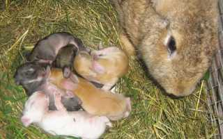 Как часто рожают кролики