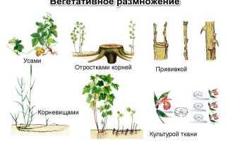Назовите способы вегетативного размножения у растений